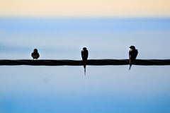 Three swallows sitting on a power line Royalty Free Stock Photography