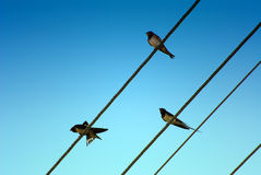 Three swallows. Sitting on wires Royalty Free Stock Images