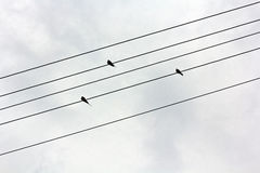 Three swallows sitting on wires Royalty Free Stock Photo
