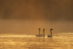 Three Swan in a Fiery Early Morning Mist. Three swans swimming in the early morning mist with the background being dramatic Stock Images