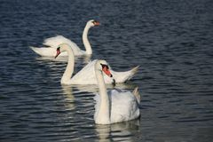 Three swan swimming. Off shore the coast of Guisseny, Finistère, Brittany, France Stock Images