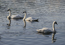 Three swans Stock Photography