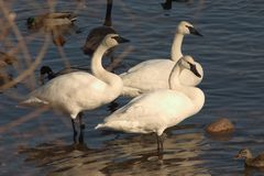 Three Swans. Swans standing royalty free stock photo