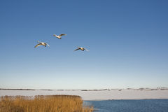 Three swans flying over lake Royalty Free Stock Image