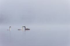 Three swans in the fog Royalty Free Stock Image