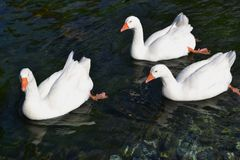 Three swans Stock Photos
