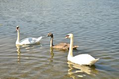 Three swans on the lake royalty free stock photo