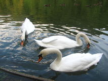 Three swans Stock Images