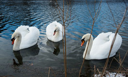 Three Swans on Lake Stock Image