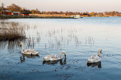 Three swans Royalty Free Stock Images
