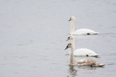 Three swans Stock Photo
