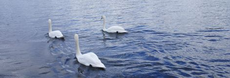 Three swans in the river. Three white swans in a river in London ,the Hyde park,in a summer day of june Stock Photo