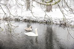Three swans on the river at winter. stock photo
