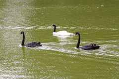 Three Swans - Sao Paulo Zoo. Three Swans, black and white, swimming in a lake in Sao Paulo zoo, Brazil Stock Photos