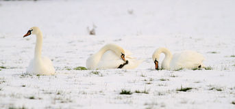 Three swans in snow Stock Photos