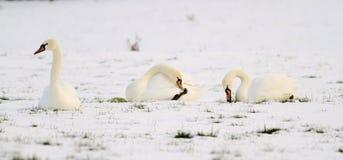 Three swans in snow Stock Photos