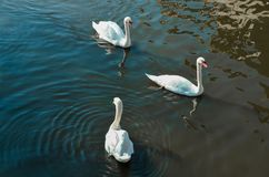 Three swans swimming in a lake Stock Photos