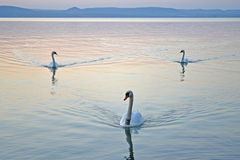 Three swans swimming on the lake at the sunset Stock Images