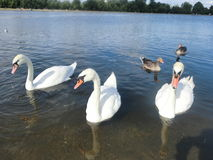 Three swans and two ducks. Three white swans and two brown ducks on a pond in a park Stock Photo