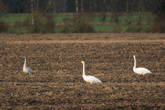 Three swans Royalty Free Stock Photography