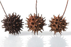 Three Sweet Gum Tree Seed Pods stock image