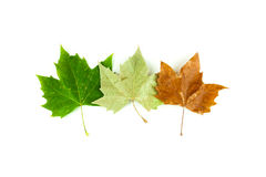 Three Sycamore Tree Leaves Show the Passing of the Seasons Stock Photography