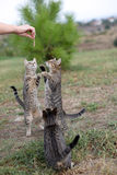 Three tabby cats on hind legs begging for food Royalty Free Stock Images