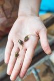 Three tadpoles on palm Stock Photography