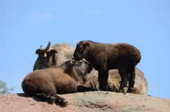 Three takins on a mountain Stock Photo