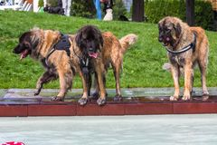 Three tall leonberger dogs. Standing beside a pool Stock Photo