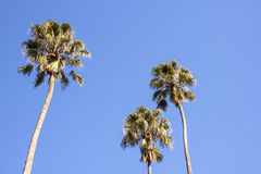 Three Tall Palm Trees Against Bright Blue Sky Stock Photography