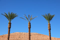 Three tall palm trees in the red desert Stock Image