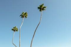 Three Tall Palms Royalty Free Stock Photos