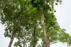 Three tall trees, branching, covering the sky From the bottom view royalty free stock photos