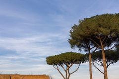 Tall umbrella pine trees in mediterranean scene with roof of red. Three tall umbrella pine trees in mediterranean scene in italy with roof of red brick building Royalty Free Stock Images