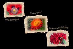 Three Tattered Tiles of Red Flowers on Black Stock Photography