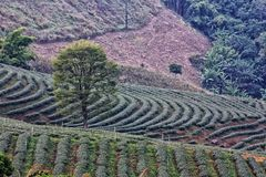 A three in tea field Stock Images