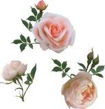 Three tea roses isolated on white Stock Image