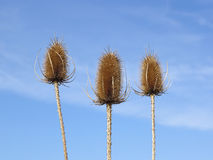 Three teasels Stock Photography