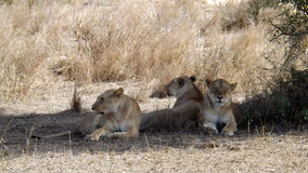 Three tensed lioness Stock Photos