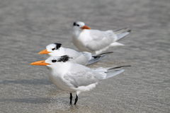 Three Terns Royalty Free Stock Images