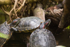 Three terrapin turtles Royalty Free Stock Photo