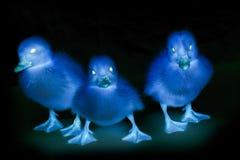 Three terrible ducks Stock Image