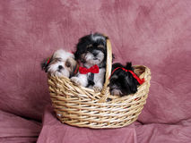 Free Three Terries In A Wicker Basket. Stock Images - 7500774