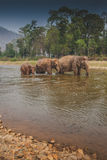 Three Thai wild elephants walk in the river Royalty Free Stock Image