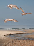 Three Thayers Seagulls. Hover over the beach at Lincoln City, Oregon Stock Photography
