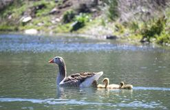 Goose with goslings in the pond stock images