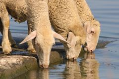 Three thirsty sheep on the watering place. Drinking water royalty free stock images