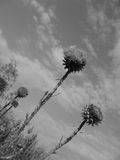 Three thistle flower Royalty Free Stock Images