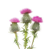 Three Thistle flowers royalty free stock photo